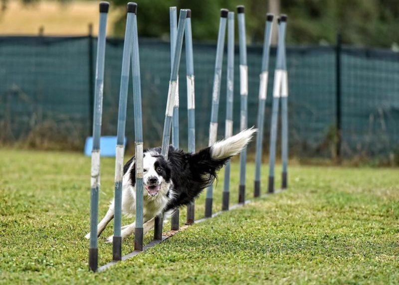 Agility Dog Terni